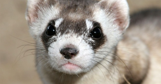 Ted Turner ranch aims to aid endangered black-footed ferrets