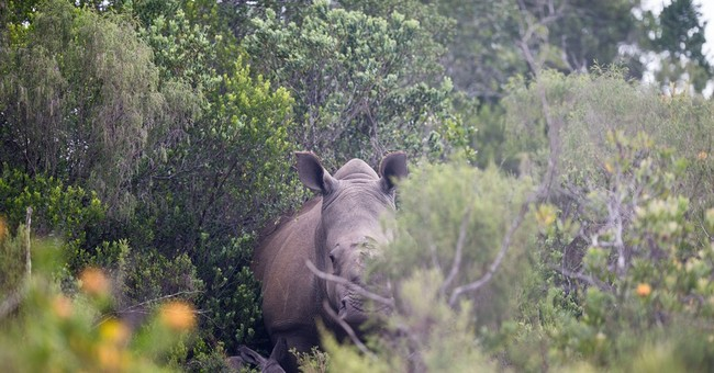 Rhino that survived poaching gives birth in South Africa