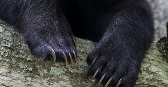 Louisiana black bear could move off threatened-species list