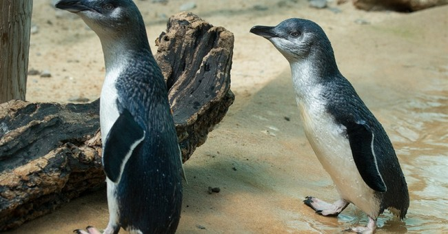 24 little penguins from Australia go on display at Bronx Zoo