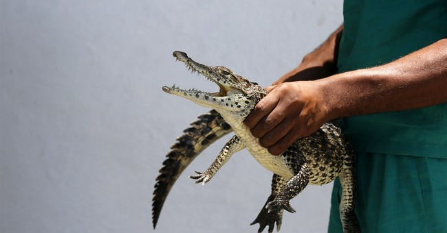 Crocodiles born in Sweden to be released in Cuban swamp