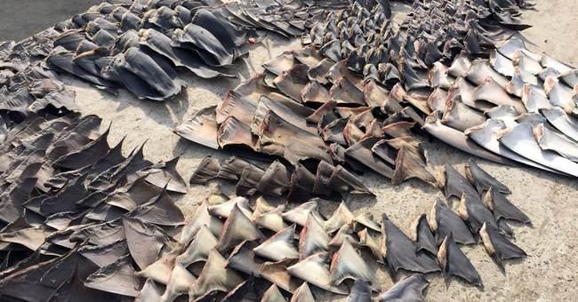 200,000 shark fins seized at Ecuadorean port