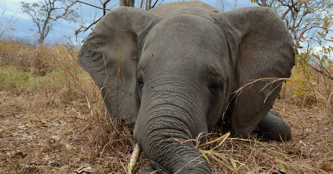 Elephant numbers plunge in Mozambique because of poachers