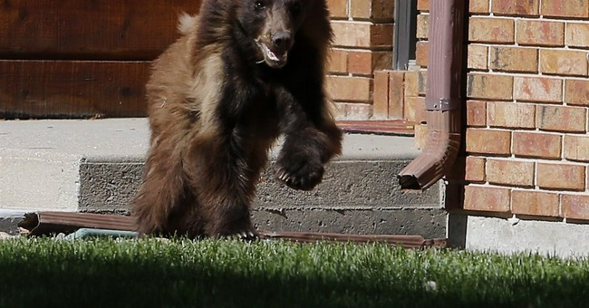 Bear scurries around Wyoming city, falls asleep, gets caught