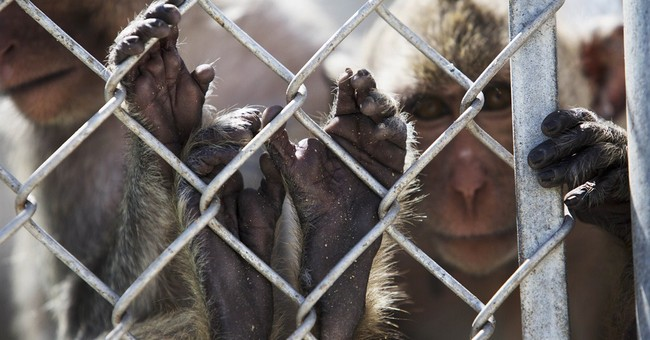 APNewsBreak: Feds inspect Fla. monkey farm at PETA's behest