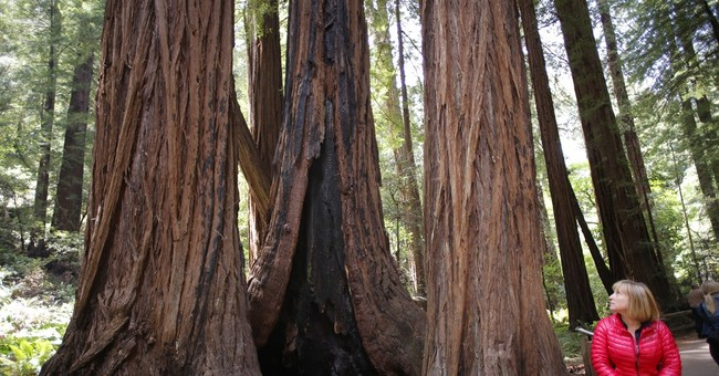 Study: California grove's tallest tree is mere 777 years old