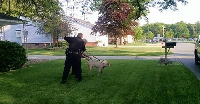 Police take stray pig into custody outside Detroit-area home