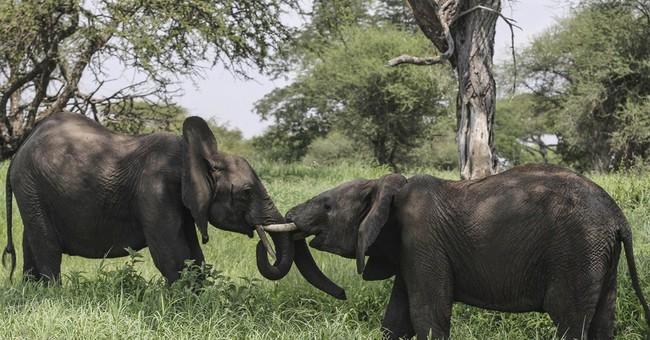 Activists: Decline of elephants in Tanzania is catastrophic