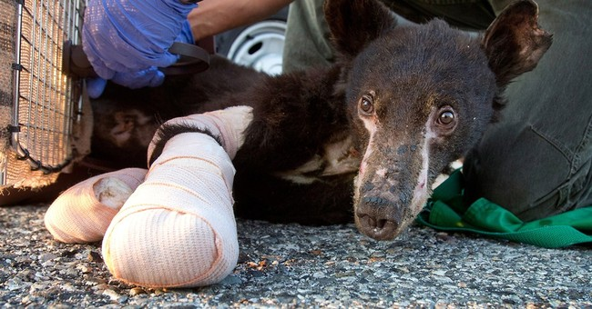 Bear cub badly burned in Washington blaze is back in wild