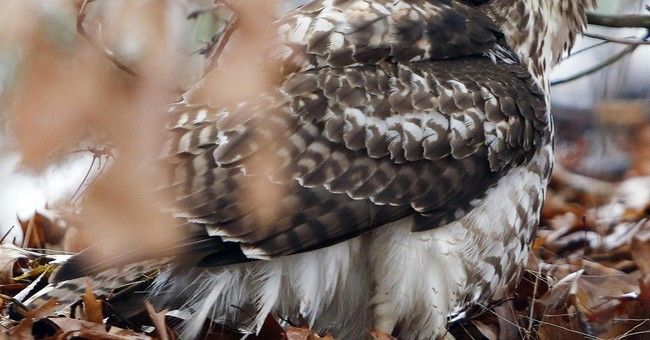 White House asks New Hampshire 4th-graders to name its hawk