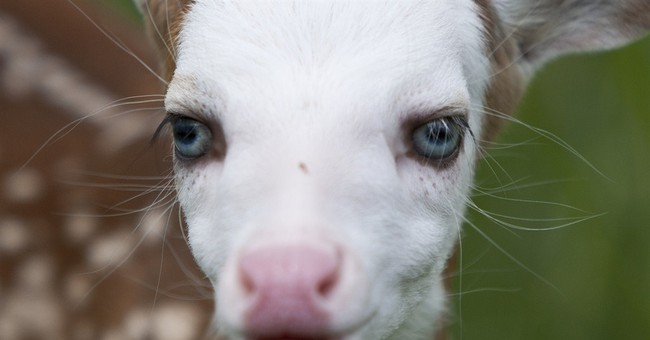 Rejected white-face fawn finds new life at animal farm