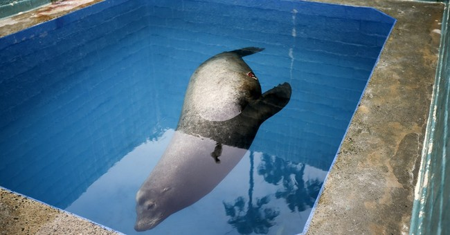 Sea lion impaled with spear dies after rescue last week