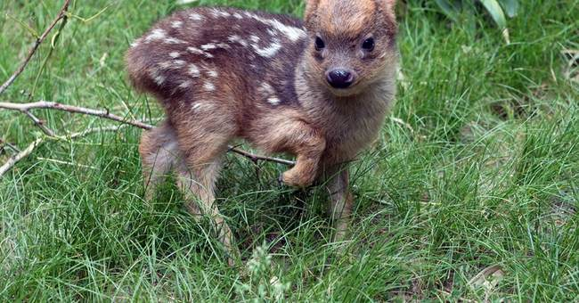 Cuteness alert! World's smallest deer species born at NY zoo