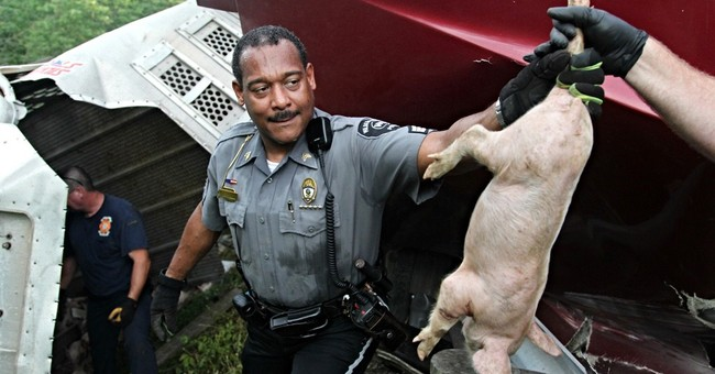 Traps set for remaining loose piglets after Ohio truck crash