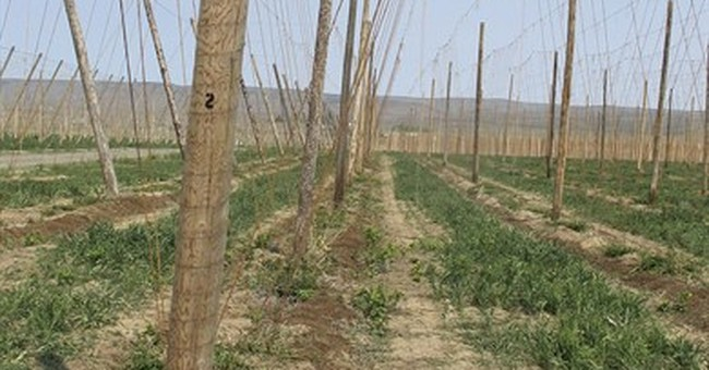 Hops growers rush to meet rising demand from craft brewers
