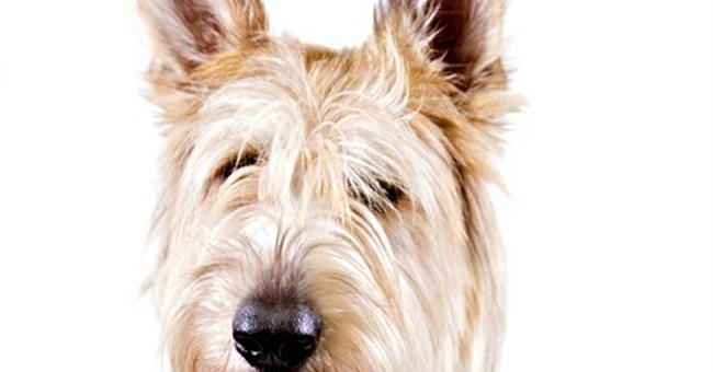 3 new dog breeds join American Kennel Club pack