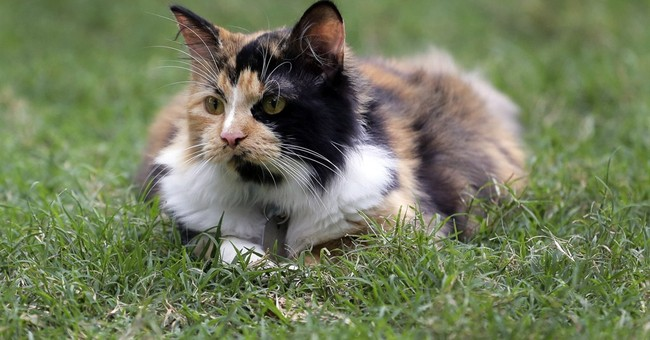 Calico kitty 'Bella' named official cat of the Alamo
