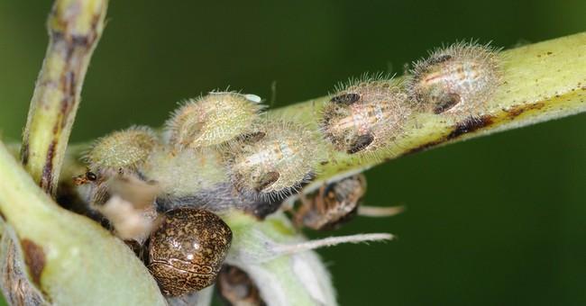 Kudzu bugs spread into DC area, southern Delaware, Arkansas