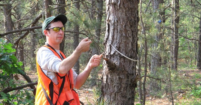 Destructive southern pine beetle appears in Northeast states