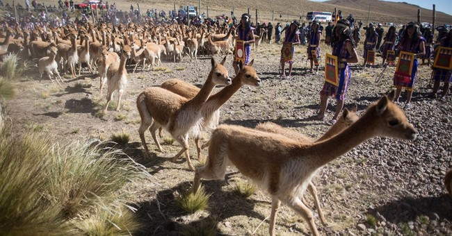 AP PHOTOS: Wooly vicunas sheared at Inca festival in Andes