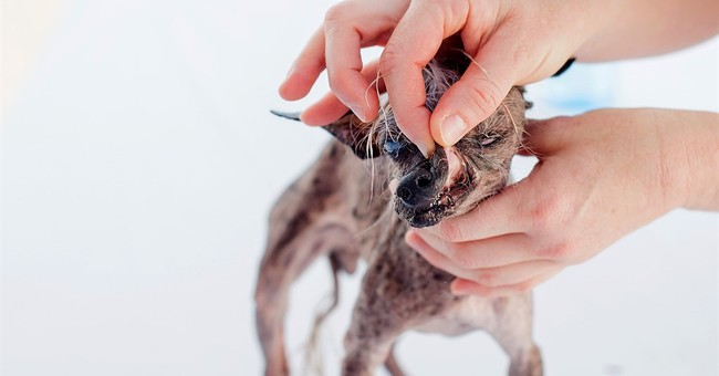 Deformed mutt is crowned World's Ugliest Dog