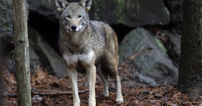 Red wolf reintroductions halted while changes considered
