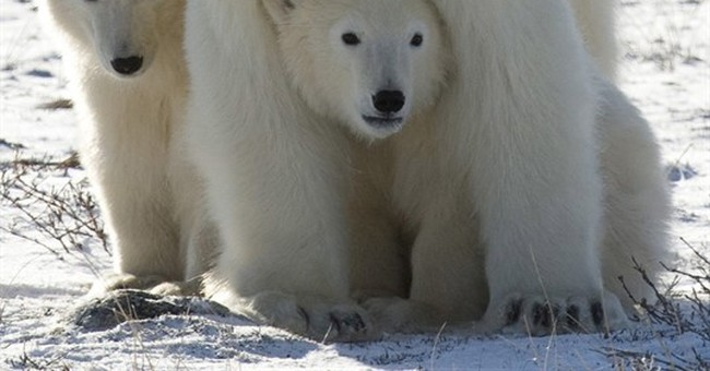Study: Polar bears could feel global warming's sting by 2025