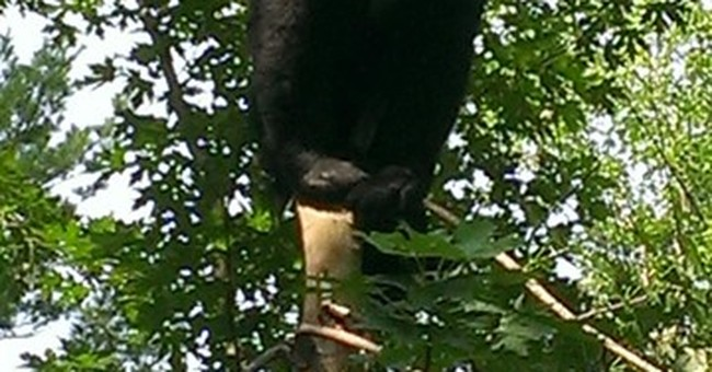 Black bear relocated after wandering Hartford neighborhood