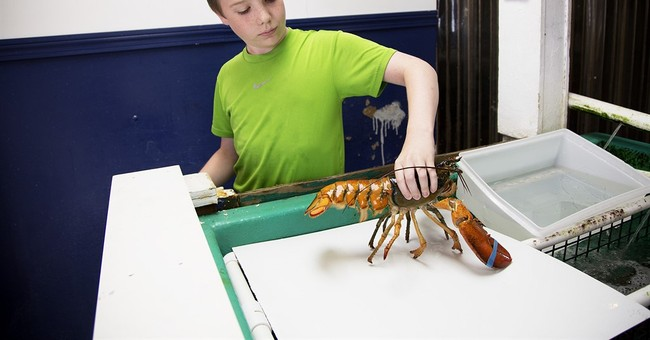 Split-colored lobster caught off Maine, 1 in 50 million find