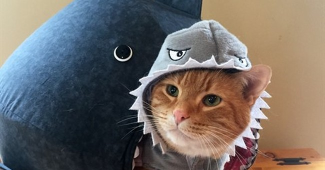 Stay out of the water, Chuck! Cat joins Shark Week frenzy