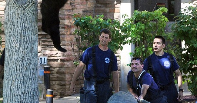Bear tranquilized after climbing tree on Colorado campus