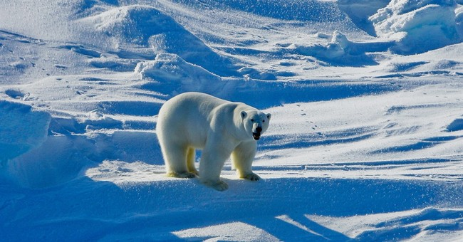 Research: Polar bears can't conserve energy during fasting