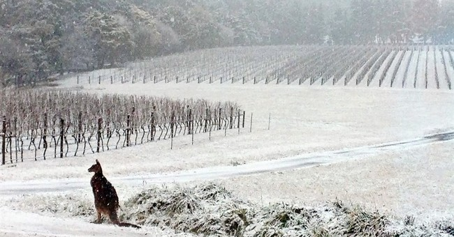 Just a kangaroo in the vineyard during Australian snowstorm