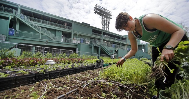 Big Green Monster cukes? Rooftop garden thrives at Fenway