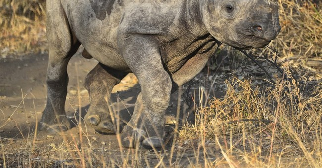 South African rhino orphanage cares for victims of poachers
