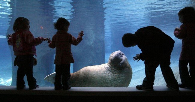 Beloved walrus at Washington state zoo dies after surgery