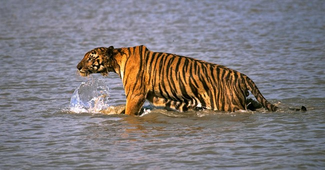 India counts more wild tigers, credits conservation