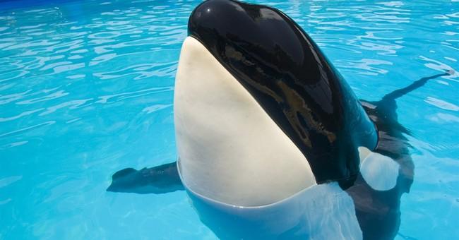 Lawsuit: captive Miami orca violates Endangered Species Act