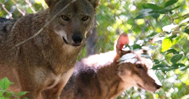 Summit to weigh endangered red wolf's plight as numbers drop