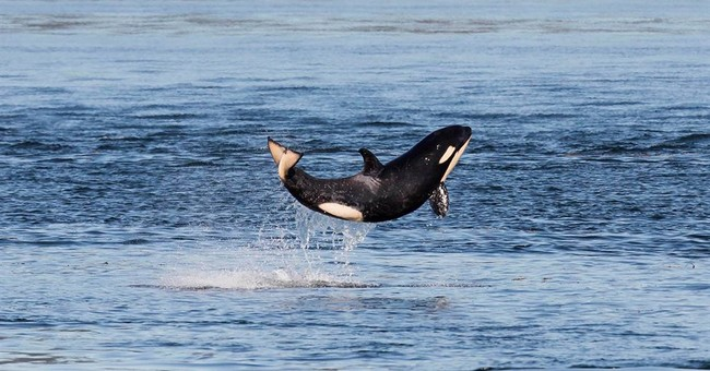 Official orca census: 81 whales, including 4 babies