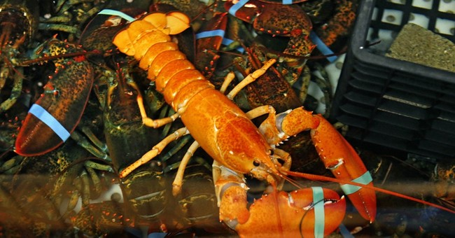 Maine fisherman finds bright orange lobster; his 2nd rarity
