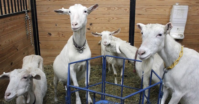 Neglected goats seized from farm to be auctioned off