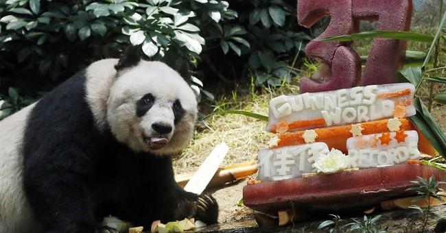 Oldest ever giant panda celebrates with bamboo, veggie cake