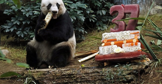 Oldest ever giant panda celebrates with bamboo, veggie cake