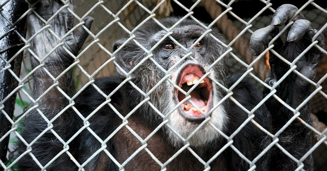 Chimps denied legal personhood will be retired from research