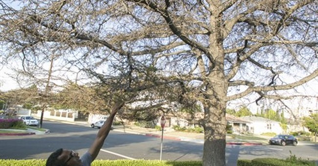 Amid California drought, fears rise of trees dying, falling