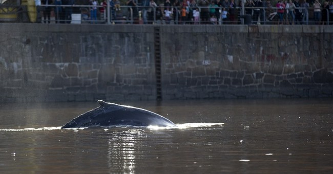 Argentine authorities lure whale from Buenos Aires marina