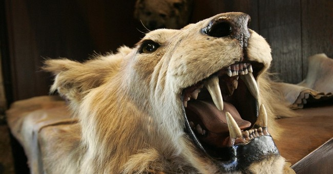 Concern over lion hunting rises in South Africa