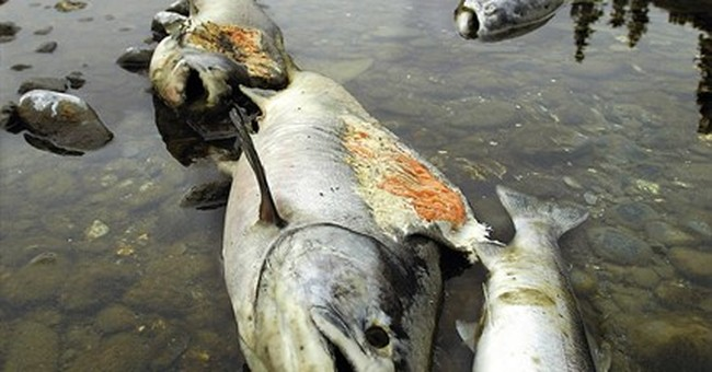 Biologists fear repeat of 2002 salmon kill in Klamath River