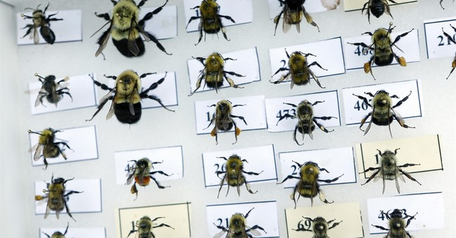 To bee, or not to bee: This is no bumbling insect audit